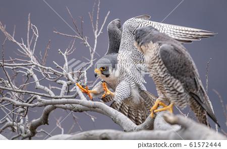 Peregrine Falcon  61572444
