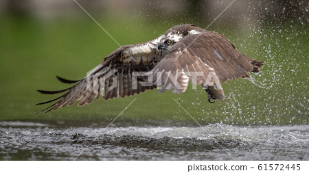 Osprey Fishing in Florida  61572445