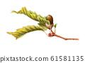 Acorn (Konara) 61581135