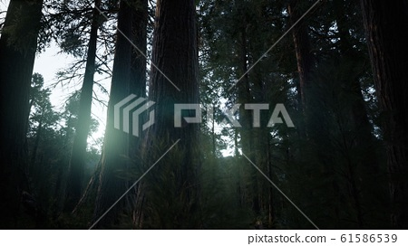 Giant Sequoia Trees at summertime in Sequoia 61586539