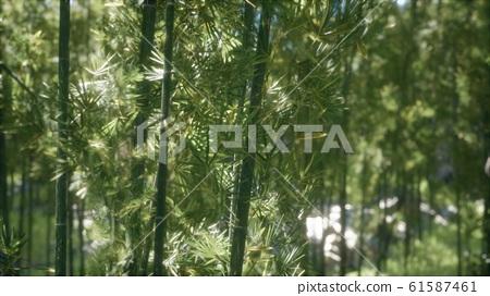 8K Windy Tranquil Arashiyama Bamboo Grove 61587461