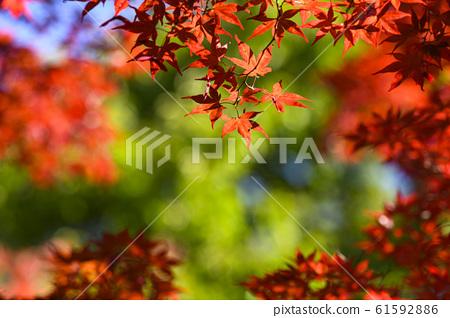 查找秋天的葉子(綠色的背) 61592886