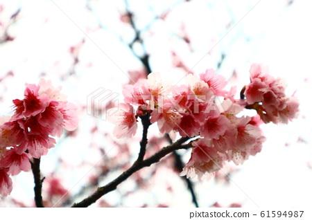 台北,陽明山,初櫻,平菁街,花,山櫻,緋寒櫻,櫻花,粉紅,白,春 61594987