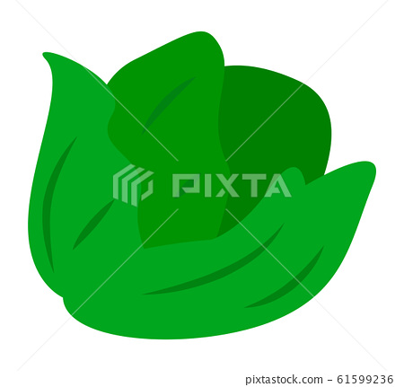 Vegetable Isolated, Green Cabbage or Colewort 61599236