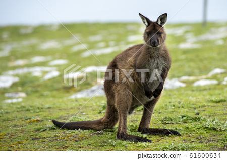 Kangaroo in kangaroo island Australia before bush 61600634