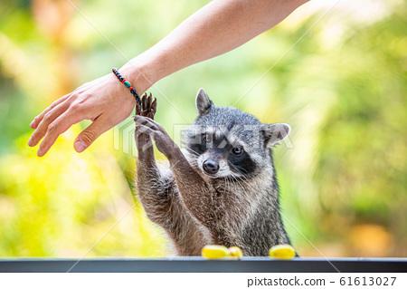 Adorable raccoon portrait close up furry pet 61613027