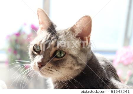 Green eye cat American shorthair looking back at windowsill 61648341