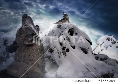 wolves howl among the cold snowy mountains 61655084