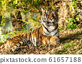 The Siberian tiger,Panthera tigris altaica in the 61657188