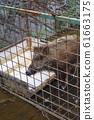 Captured wild boar 61663175
