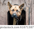 german shepherd on a chain in a wooden doghouse 61671387