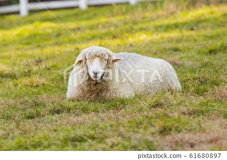 Livestock farm, cattle, dairy cattle, sheep and goat 118 61680897