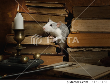 Small cute gray rat crawls between old books on 61698478