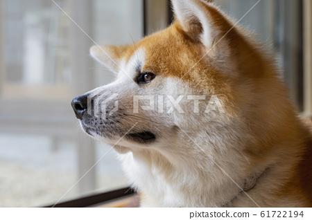 Close up shot of cute Akita dog 61722194