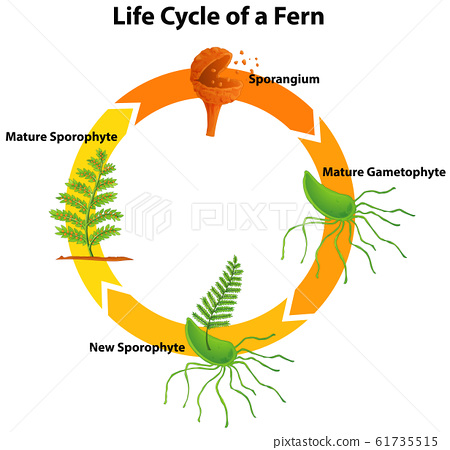 Diagram showing life cycle of fern 61735515