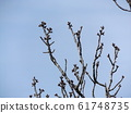 Winter bud of Oshima cherry tree which we are looking forward to this year 61748735