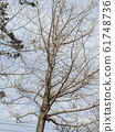 The ginkgo tree of a ginkgo tree that is sprouting soon 61748736
