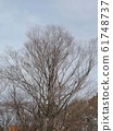 Winter view of a large zelkova tree 61748737