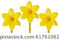 yellow daffodils isolated 61761062