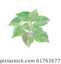 Sweet potato leaves 61763677