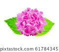 Pink Hydrangea flower on white background 61784345