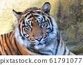 Sumatran Tiger, Panthera tigris sumatrae 61791077