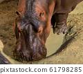 Hippo, Hippopotamus amphibius in Jerez de la 61798285