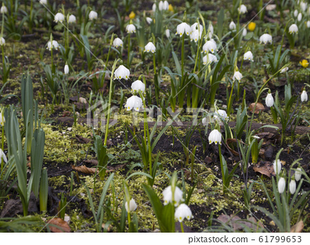 Snowdrops (Galanthus) on a meadow 61799653