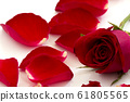 Red Roses Isolated on White Background 61805565