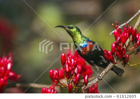 Mariqua Sunbird in Kruger National park, South 61812605