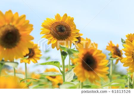 해바라기 여름 61813526