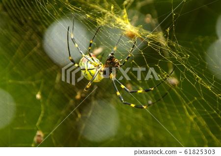 蜘蛛網和蜘蛛 61825303