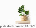 Monstera home potted plant front view, home 61846921
