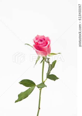 Studio shot of pink rose flower in deco 61848097