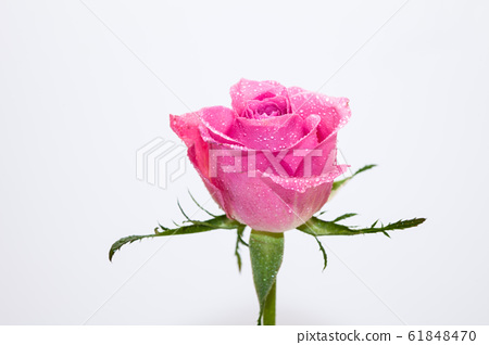 Water wet Pink rose flower isolated on white 61848470
