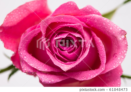 Water wet Pink rose flower isolated on white 61848473