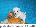 Pup breed maltese lapdog 61849680