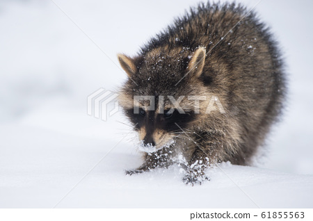 Raccoon in the snow 61855563