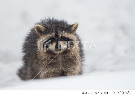浣熊在雪地里 61855626