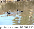 Coot in Chiba Park Watauchi Pond 61862953