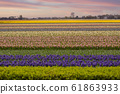 fields of multi-colored hyacinths bloom. 61863933