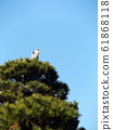 Gray heron on a large pine tree in Chiba Park 61868118