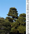 Gray heron on a large pine tree in Chiba Park 61868120