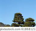 Gray heron on a large pine tree in Chiba Park 61868121