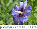 Rose Of Sharon Oiseau Bleu 61873378