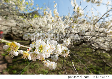 white plum blossom under blue sky 61875877