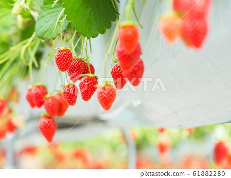 草莓採摘 61882280