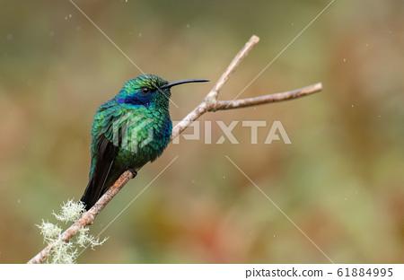 Hummingbird in Costa Rica 61884995
