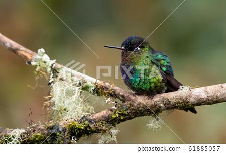 Hummingbird in Costa Rica 61885057