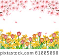 Cherry blossoms and tulips, rape blossoms 61885898